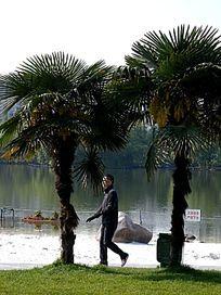 椰树 散步者
