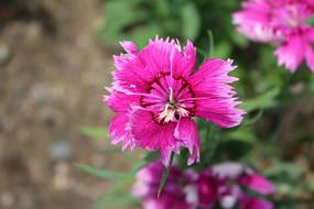 一朵粉色的石竹花