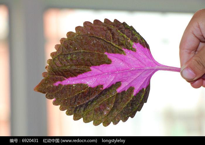 原创摄影图 动物植物 树木枝叶 一片彩叶草叶子  请您分享: 红动网