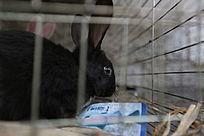 一只小黑兔