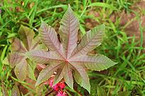 蓖麻美丽的叶子