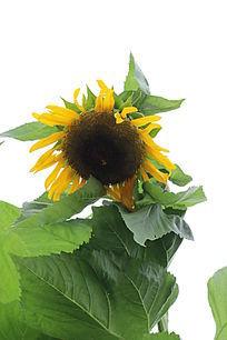 初熟的向日葵与叶子