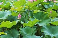 荷花朵朵开放