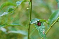 花枝上的七星瓢虫