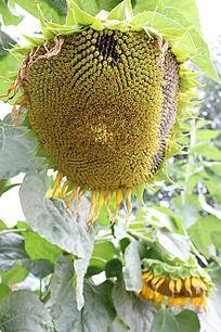 结籽的向日葵