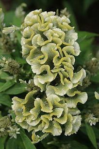 绿色鸡冠花