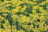 美丽的黄花背景图