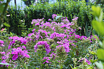 美女樱紫色花背景素材图