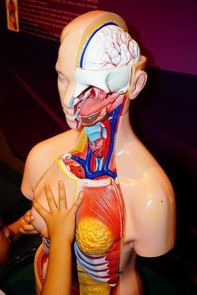 女人器官解剖模型