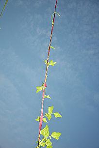 攀沿向上的豆秧