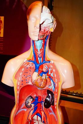 人体器官解剖模型