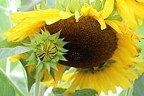 盛开的花朵与初放的花蕾