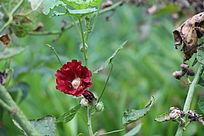 一朵红色的蜀葵花