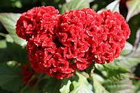 一朵火红的鸡冠花