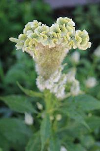 一朵绿色鸡冠花