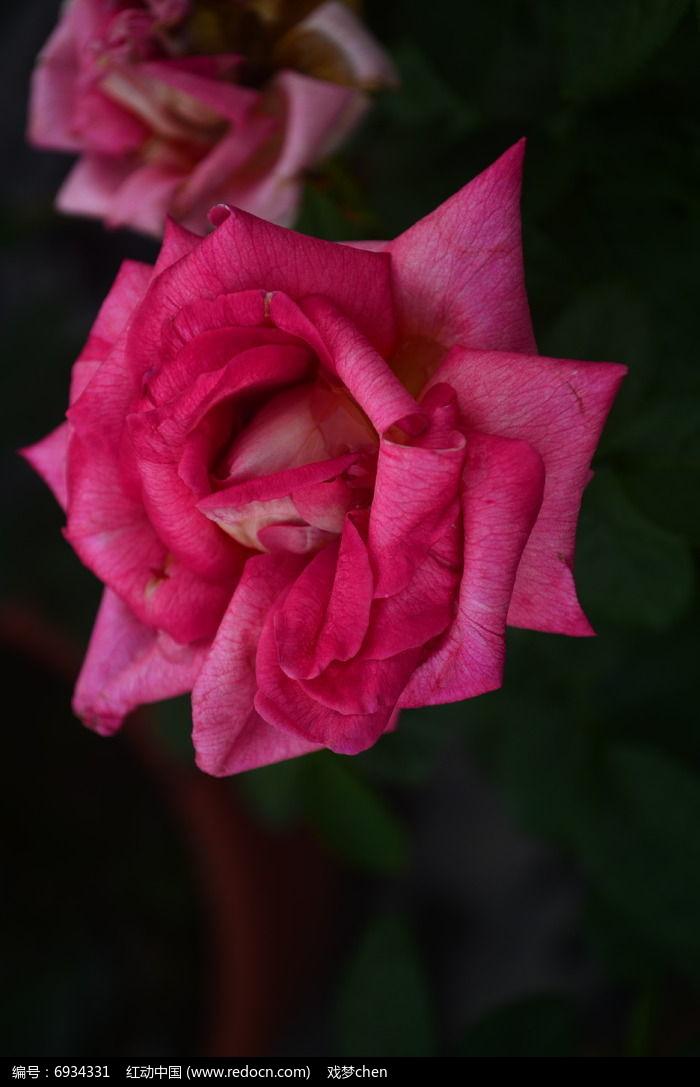 一朵美丽的月季花花朵图片