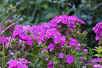 一片盛开的美女樱花朵