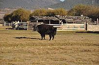 草原野生牦牛