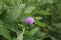 绿叶中一朵紫色的小花