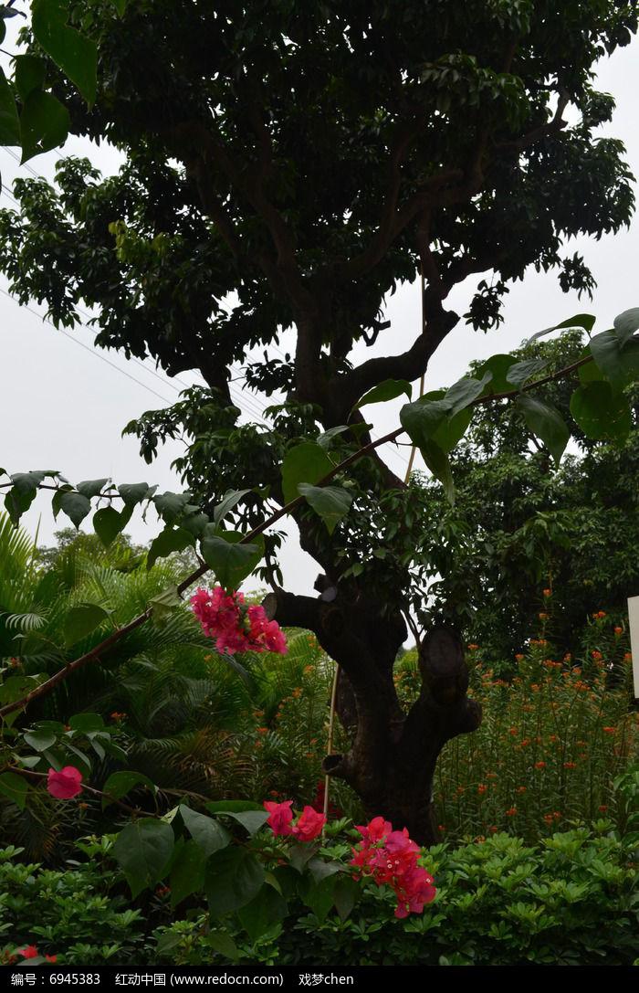 三角梅树木风景图片图片,高清大图_花卉花草素材