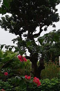 三角梅树木风景图片