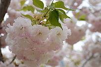 阳光透射下下的粉嫩的樱花