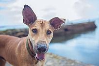 萌萌的大耳朵狗