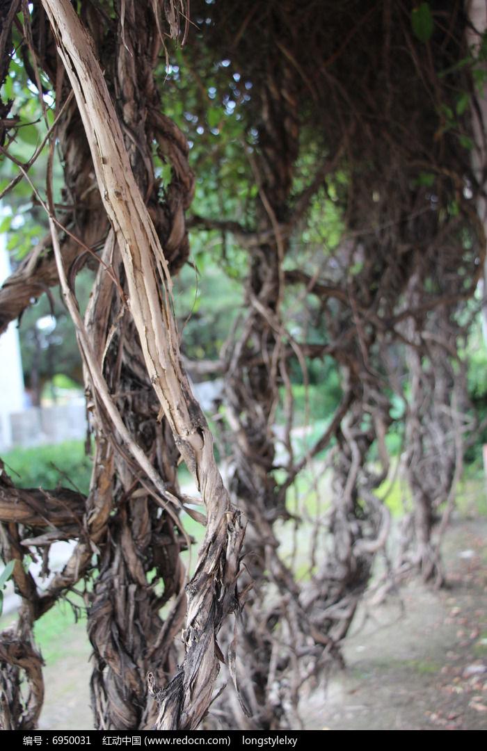 爬山虎藤蔓图片,高清大图_树木枝叶素材