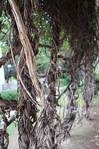 爬山虎藤蔓