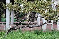弯着腰生长的桃树