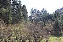 高原针叶林
