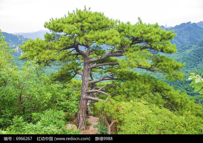 千山唐代古城松树图片,高清大图_森林树林素材