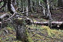 森林中的树墩