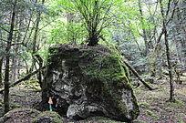 原始森林里的古老大石头