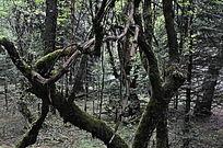 原始森林里的古树
