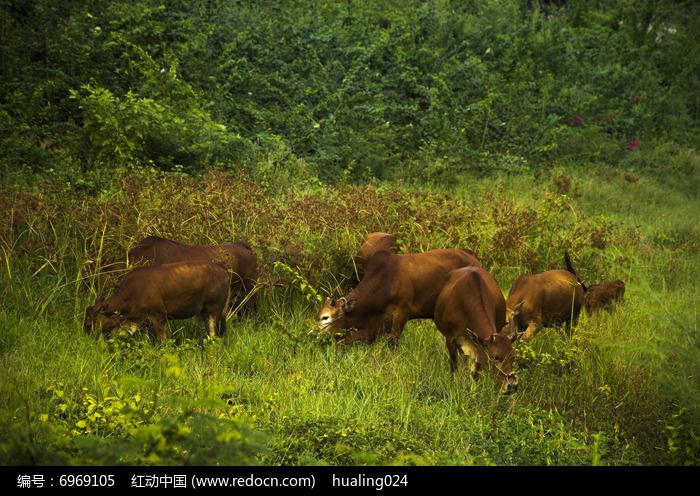 原创摄影图 动物植物 家禽家畜 草丛中放养的黄牛