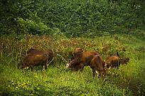 草丛中放养的黄牛