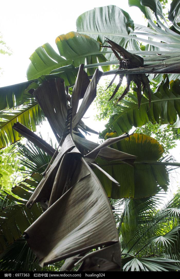 垂落的巨大芭蕉树叶子