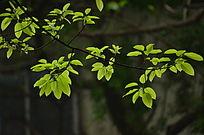 春天嫩绿的树叶图片
