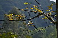 初秋的红叶风景图片