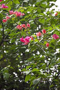 翠绿的荆棘藤蔓中的紫色杜鹃花