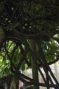 粗壮的蛇形藤蔓
