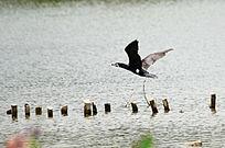 飞翔的鹭鸟风景图片
