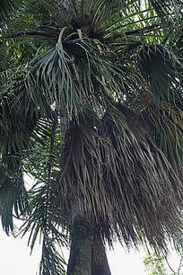 风中摇曳的椰子树
