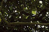 干枯的藤蔓上长出的勃勃生机的叶子