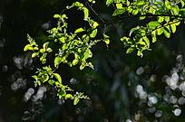 光影树叶嫩叶图片
