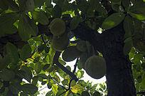 挂在黝黑的老树上的许多茂密的菠萝蜜