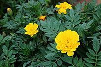 黄色的千层菊花