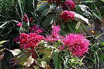 花形不同的两种红花