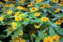 花园里的黄色小花